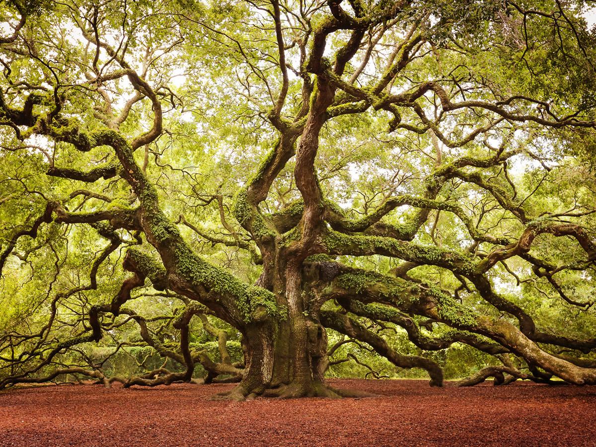 Великолепные деревья мира