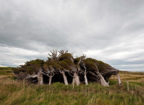 Деревья Новой Зеландии