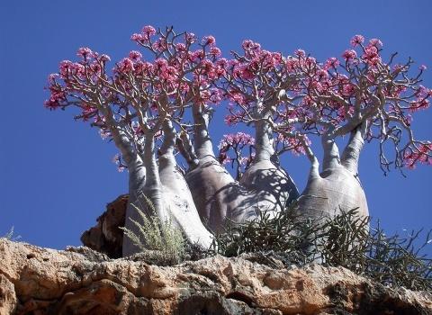 Роза пустыни (Адениум Сокотранум). Роза пустыни является медленно растущим и очень редким деревом