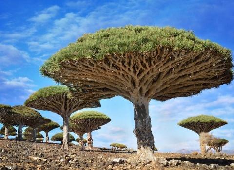 Эти красивые деревья - впечатляющая достопримечательность, они могут быть найдены только в одном месте в Йемене. Деревья Дракона (деревья Крови Дракона) являются символами острова Сокотра
