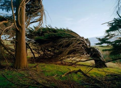 В Новой Зеландии, на Южном острове с побережья дует сильный ветер и деревьям пришлось пригнуться к Земле
