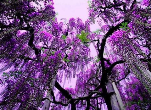 Свисающие гроздями кисти глициний в японском парке Kawachi Fuji