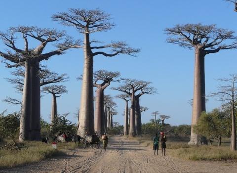 Баобабы подымаются в высь примерно на 30 метров. Баобаб является национальным символом острова Мадагаскар