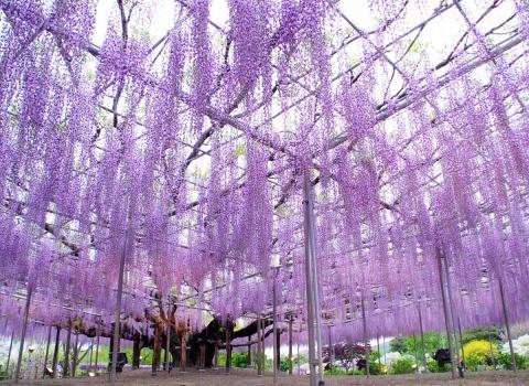 Вистерия, или же глициния —одно из самых прекрасных вьющихся растений, представляющее из себя крупные листопадные лианы с жестким одревесневшим стволом. Специально созданные каркасы для глициний в парке Kawachi Fuji Японии