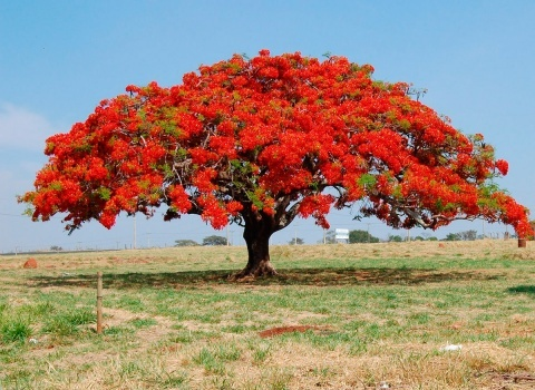 Родная странадеревьев Flamboyan — Мадагаскар, а в Доминикану их привезли первые испанские переселенцы