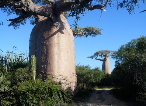 В мире существует 9видов баобабов. На Мадагаскаре можно найти шестьвидов, два вида растут в Африке, один в Австралии