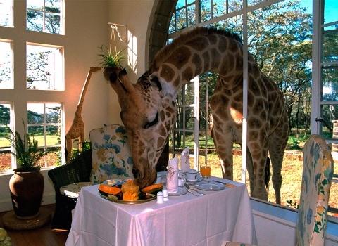 Отель Giraffe Manor, Kenya