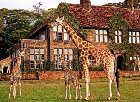 Кенийский отель Giraffe Manor стал настоящим приютом для ротшильдских жирафов, которые сегодня находятся на грани исчезновения