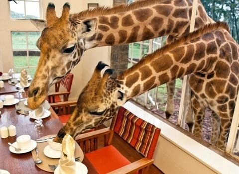ОтельGiraffe Manor, Kenya.Жирафы каждое утро заглядывают на завтрак. Все желающие могут их угостить и сделать с ними потрясающие фотографии
