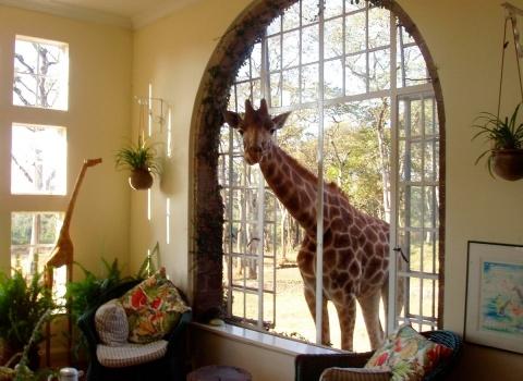 ОтельGiraffe Manor, Kenya. Жирафа можно покормить и погладить прямо из окна своего номера